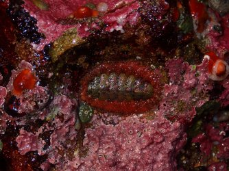 lined chiton amid coralline algae... i think
